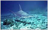 Coral Sea Giant Hammerhead Shark Charges
