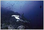 Cocos Island's Hammerhead Wall In Background