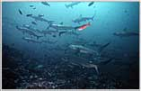 Hammerheads Sweep Up Into Shallows of Malpelo's waters