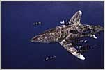 Red Sea Oceanic White Tip Shark Examines Us Closely
