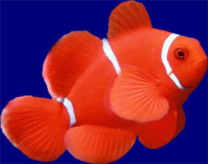 Cute Clownfish Button